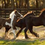 gypsy_gold_horse_farm_02