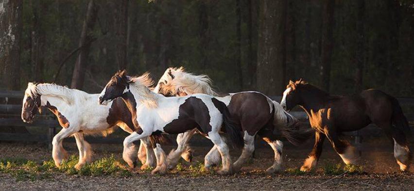 gypsy_gold_horse_farm_03