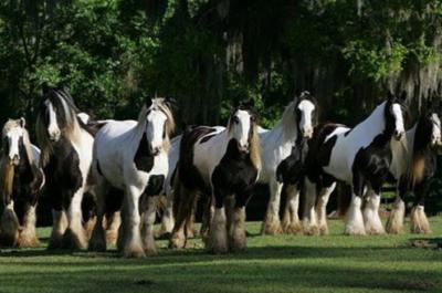 gypsy_gold_horse_farm_04