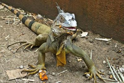 iguana_hunting