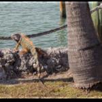 iguana_hunting_florida