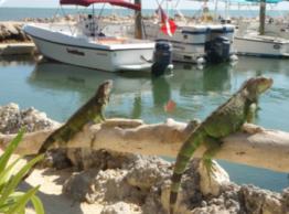 iguana_hunting_in_florida