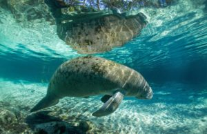 Swimming with Manatees crystal river