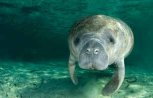 snorkel with Manatees