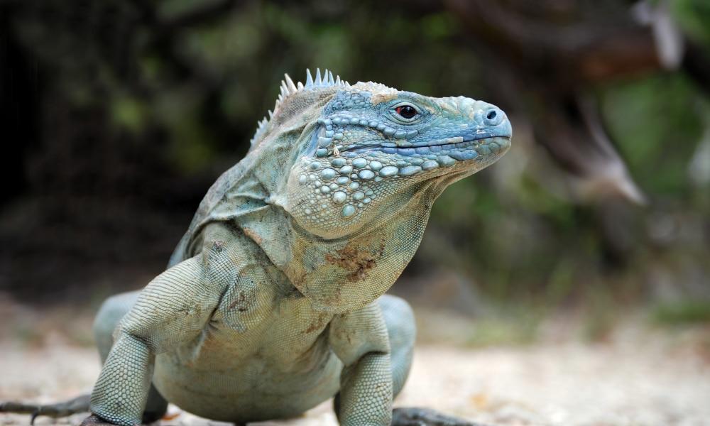 Green Iguanas in Florida