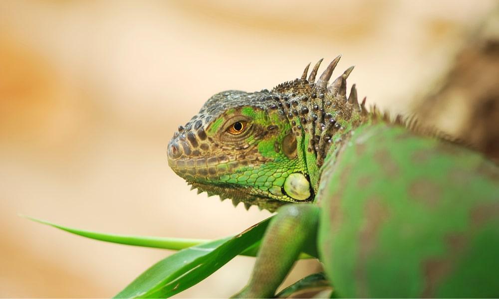 Hunt Iguanas in Florida
